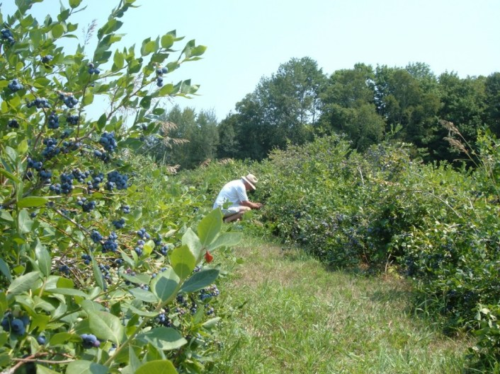 Bob picking blueberries at Fernwood Farms - stayner - ontario
