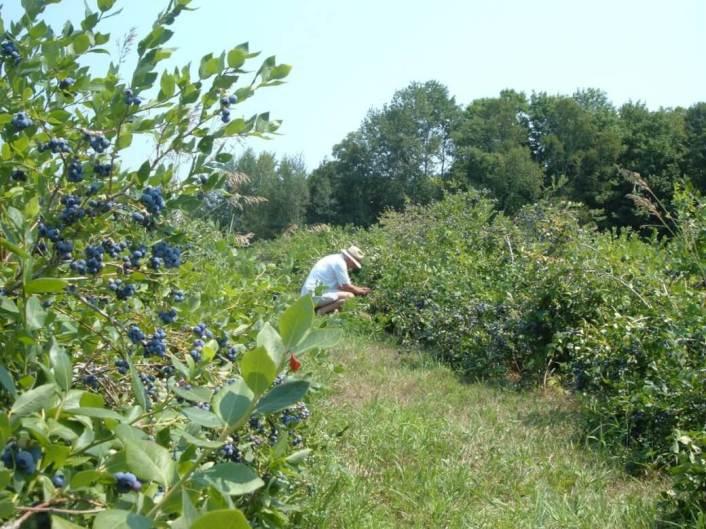 Bob picking blueberries at Fernwood Farms - stayner - ontario
