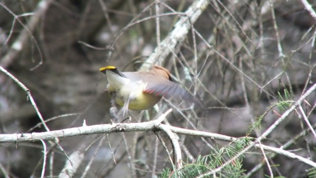 Cedar Waxwing, takes flight in a flash of color, oxtongue lake heron rookery, ontario