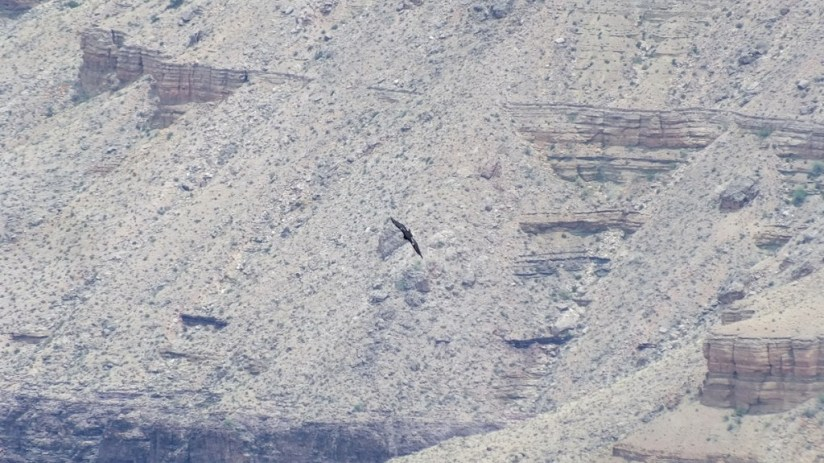 Condor in flight beside Battleship Rock Grand Canyon