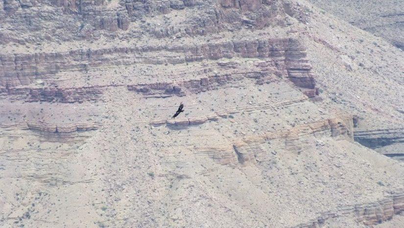 Condor in flight through Grand Canyon