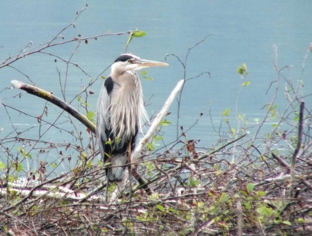 Great Blue Heron, Oxtongue lake, Ontario