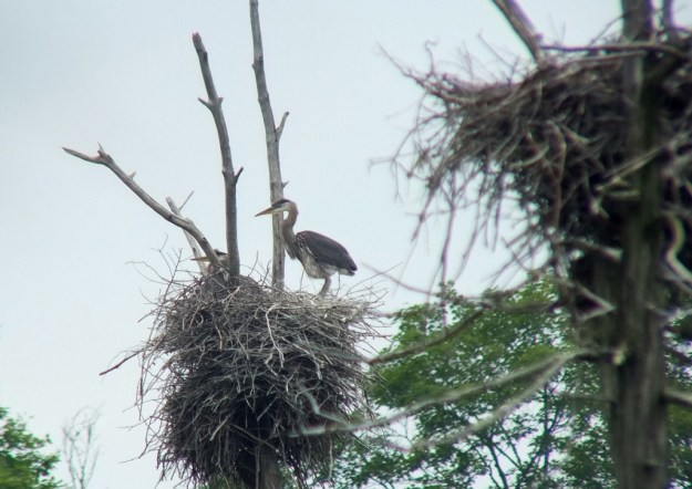 Great Blue Heron stands in nest, Oxtongue lake, Ontario