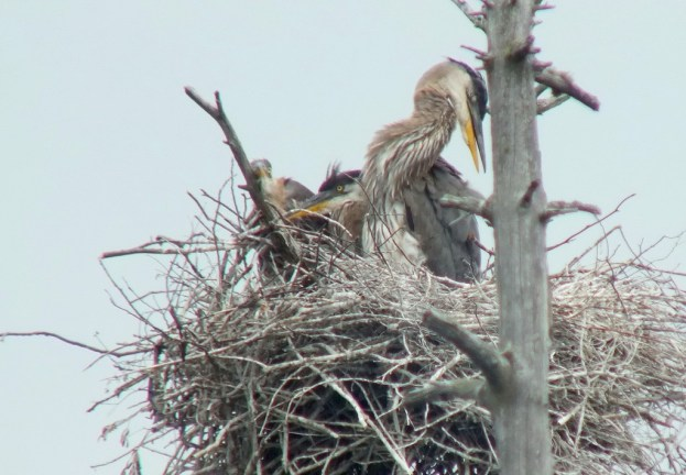 Great Blue Herons with baby , Oxtongue lake, Ontario