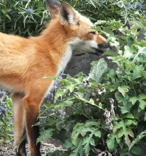 Red Fox enjoys plants at Montreal Botanical Garden - Frame To Frame Bob & Jean