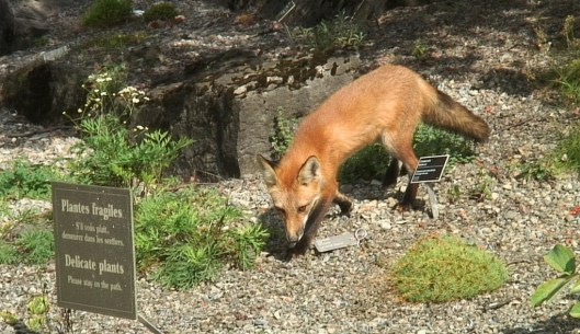 Red Fox sniffs among Delicate plants - Montreal Botanical Garden - Frame To Frame Bob & Jean