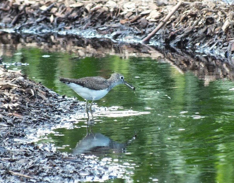 Solitary Sandpiper catches an insect - Fernwood Farms - stayner - ontario