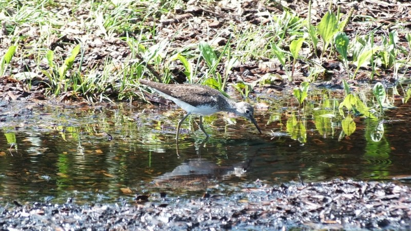 Solitary Sandpiper searching for prey in water - Fernwood Farms - stayner - ontario