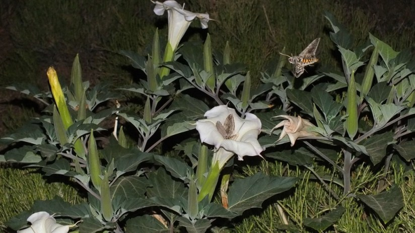 Tomato Hornworm Moths around a Moonflower plant - Grand Canyon National Park - Arizona