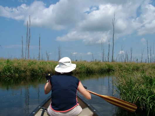 approaching great egrets in minesing swamp