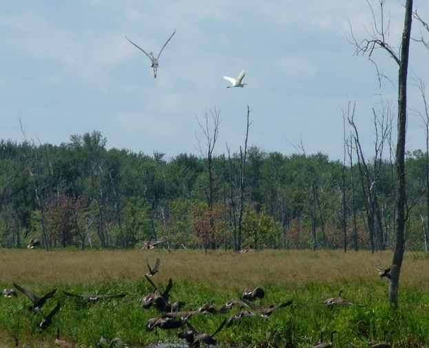 birds take flight above minesing swamp, ontario, frame to frame bob and jean