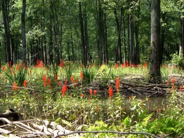 cardinal flowers in the minesing wetlands, ontario