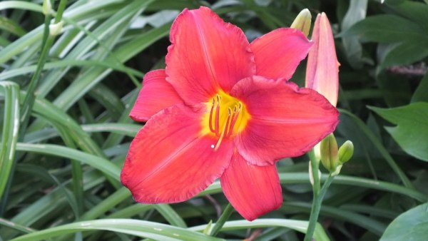 coral daylily and bud - Montreal Botanical Garden - Frame To Frame Bob & Jean