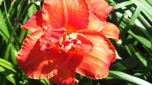 double daylily - frilled - tangerine orange - Montreal Botanical Garden - Frame To Frame Bob & Jean