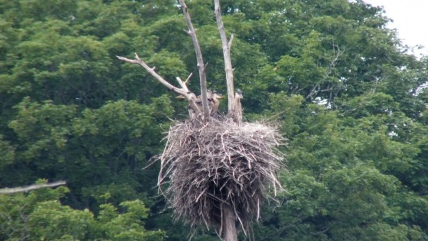 five Great Blue Herons in nest, oxtongue lake rookery, ontario