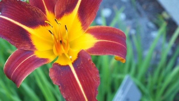 gold & maroon daylily - Montreal Botanical Garden - Frame To Frame Bob & Jean