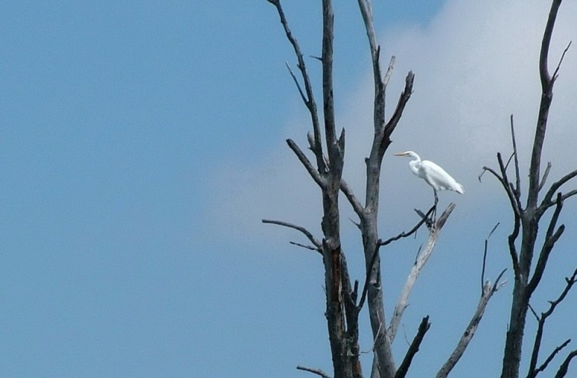 great egret, minesing swamp, ontario