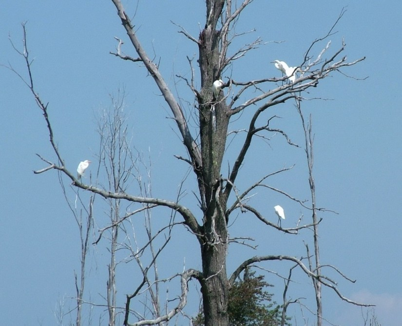 great egrets, minesing swamp, ontario