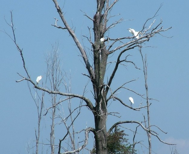great egrets in tree, minesing swamp, ontario, frame to frame bob and jean