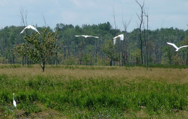 great egrets take flight, minesing swamp, ontario, frame to frame bob and jean