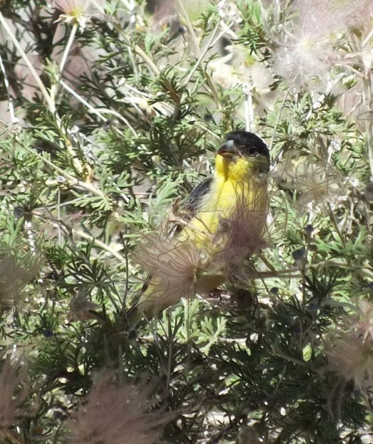 lesser goldfinch, male, holding a long piece of plant matter in peck, near Bright Angel Lodge, Grand Canyon, Arizona