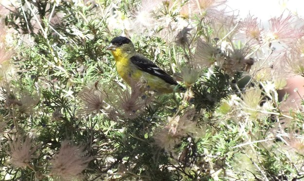 lesser goldfinch, male, looks to camera near Bright Angel Lodge, Grand Canyon, Arizona