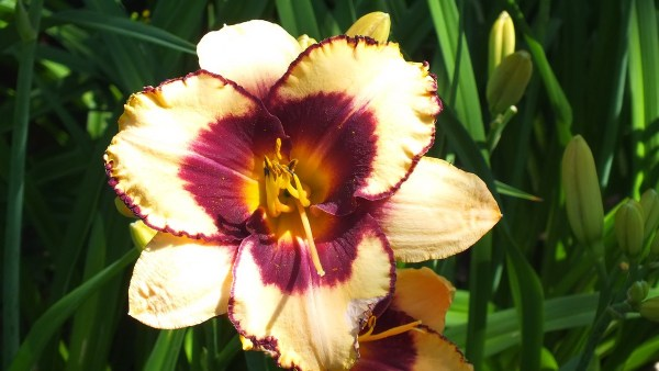 pale yellow and wine daylily - Montreal Botanical Garden - Frame To Frame Bob & Jean