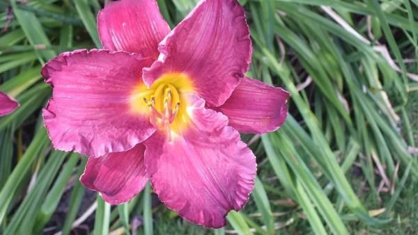 purple pink daylily - Montreal Botanical Garden - Frame To Frame Bob & Jean