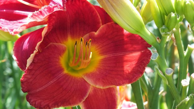 red daylily (stamen) - Montreal Botanical Gardens - Frame To Frame Bob & Jean