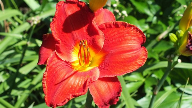 red with yellow eye daylily - Montreal Botanical Garden - Frame To Frame Bob & Jean