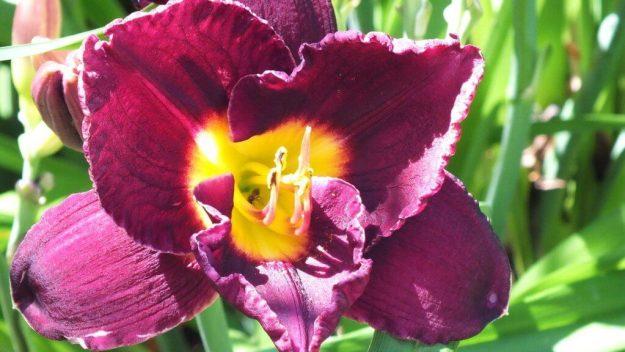 ruffled amethyst daylily - Montreal Botanical Garden - Frame to Frame Bob & Jean