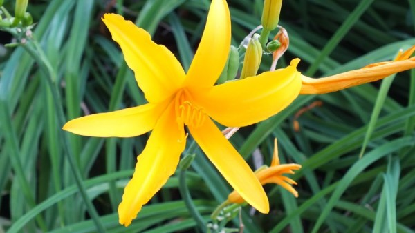 sunshine yellow daylily - Montreal Botanical Garden - Frame To Frame Bob & Jean