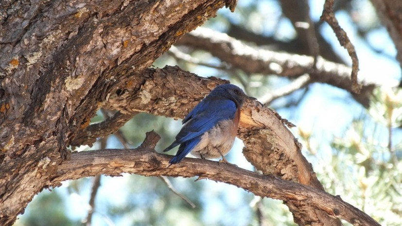 western bluebird in tree, grand canyon national park, arizona, frame to frame bob and jean