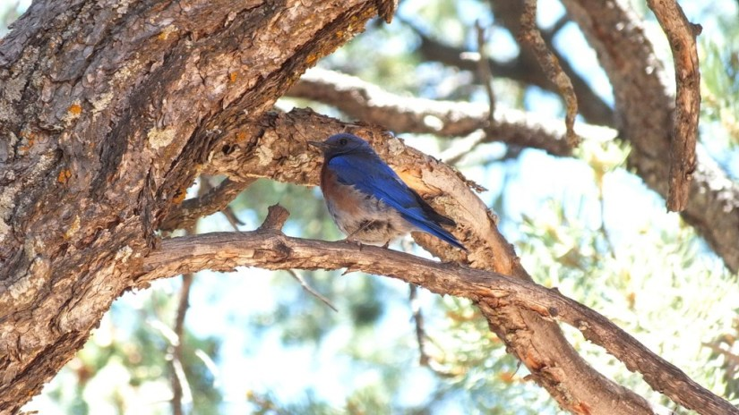 western bluebird sits on limb, grand canyon national park, arizona, frame to frame bob and jean
