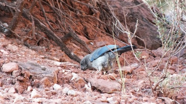 western scrub jay - digs in ground among stones, bright angel trail, grand canyon