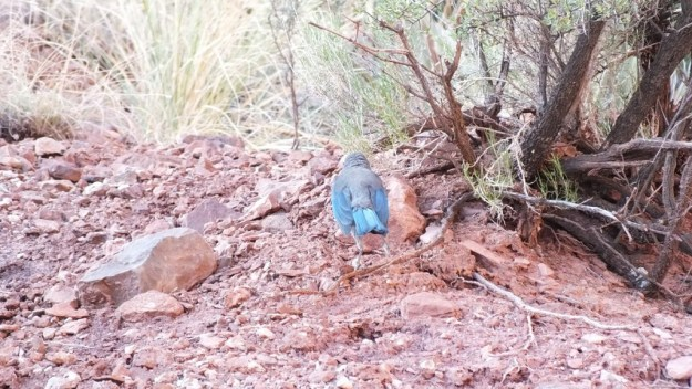 western scrub jay hunts prey, bright angel trail, grand canyon
