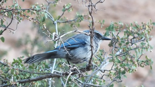 western scrub jay - in tree along bright angel trail, grand canyon