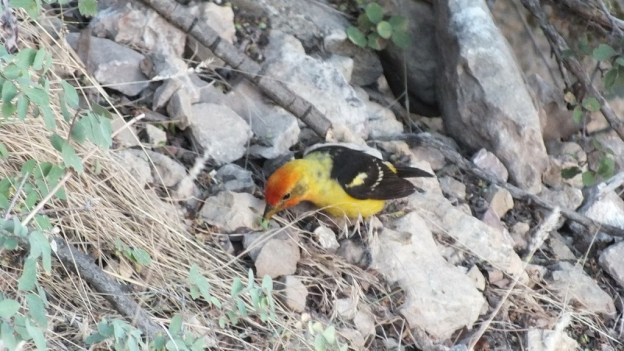 western tanager, holds a seed in peck, north rim, grand canyon, arizona