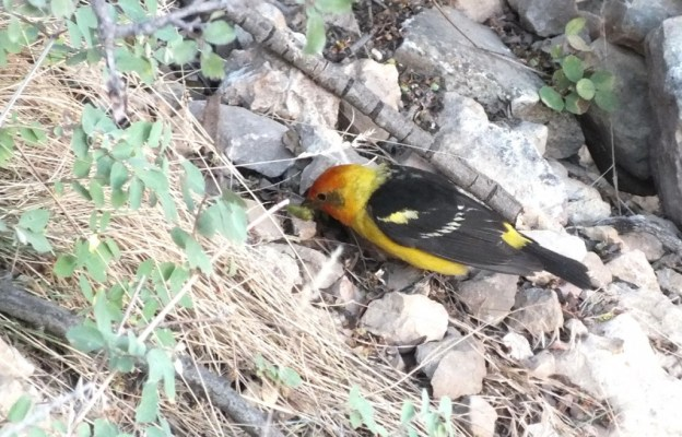 western tanager, hunts for seeds, north rim, grand canyon, arizona