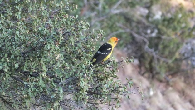 western tanager, in tree, north rim, grand canyon, arizona