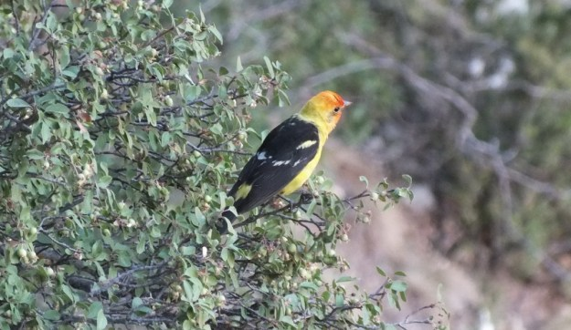 western tanager, north rim, grand canyon, arizona