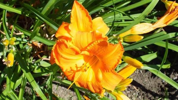 yellow orange daylily - Montreal Botanical Garden - Frame To Frame Bob & Jean