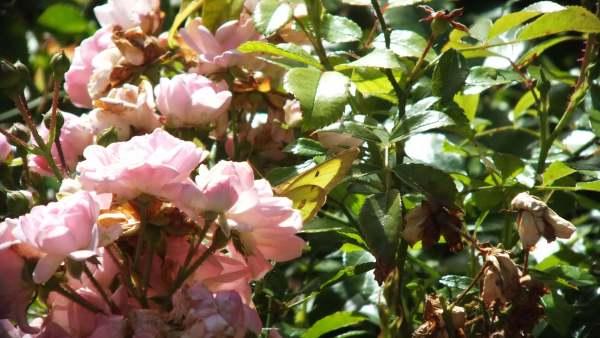 Clouded Sulphur Butterfly, Rosetta McClain Gardens, Toronto