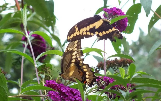 Giant Swallowtail butterflies, in flight and sitting, toronto, ontario