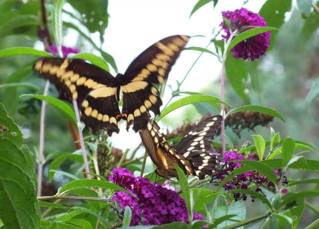 Giant Swallowtail butterflies on butterfly bush, toronto, ontario