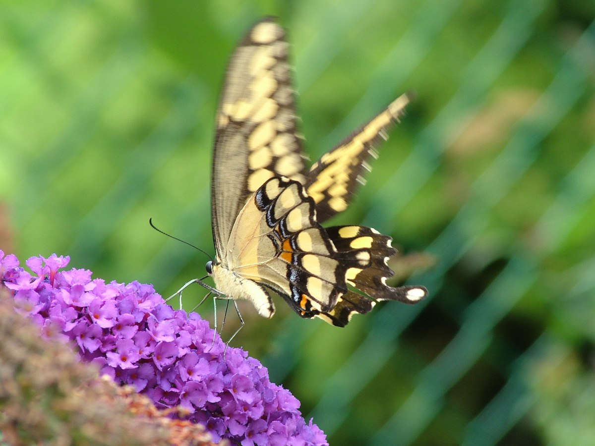 how to create a butterfly garden in ontario