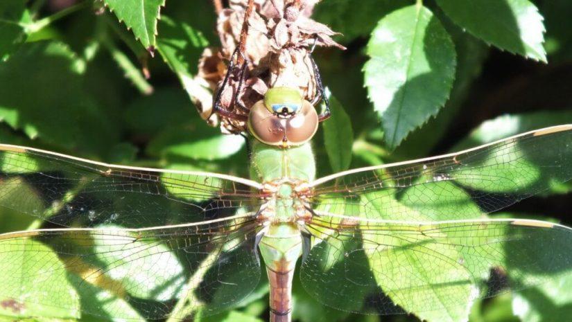 Green Darner Dragonfly - back of head - Rosetta McClain Gardens - Toronto