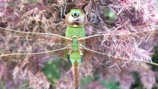 Green Darner Dragonfly - closeup on pink flower - Rosetta McClain Gardens - Toronto