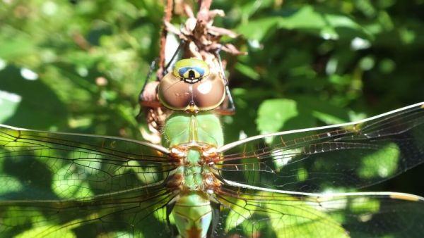 Green Darner Dragonfly - closeup on rose bush  - Rosetta McClain Gardens - Toronto