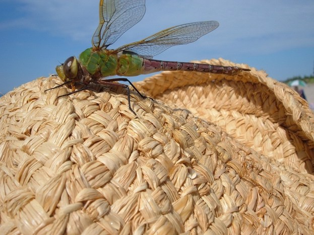 Green Darner Dragonfly - lands on jeans straw hat - Oxtongue lake - Ontario